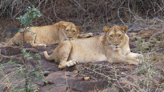 Amakhosi Safari Lodge: two female lions