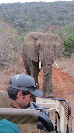Amakhosi Safari Lodge: elephant up close