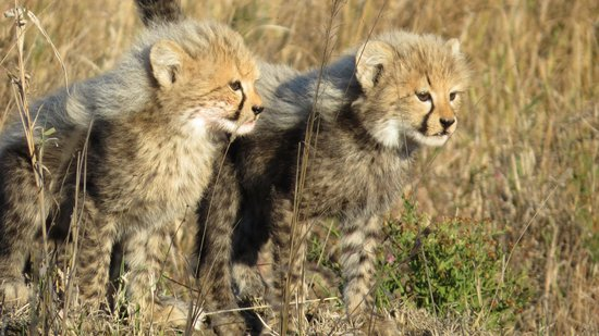 andBeyond Phinda Forest Lodge: cheetah cubs
