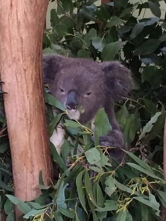 Blue Diamond Tours - Blue Mountains Day Tour: koala at featherdale