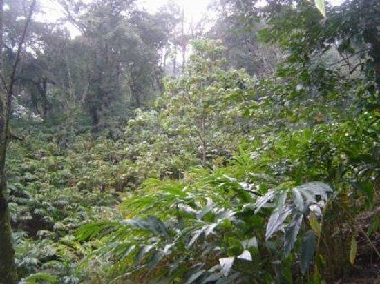 Cardamom plantation.