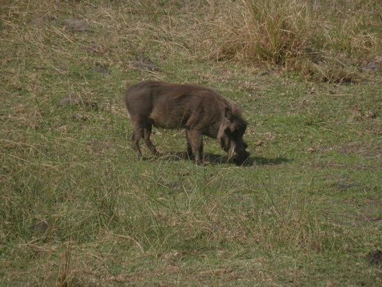 Igwalagwala Guest House: Warthog