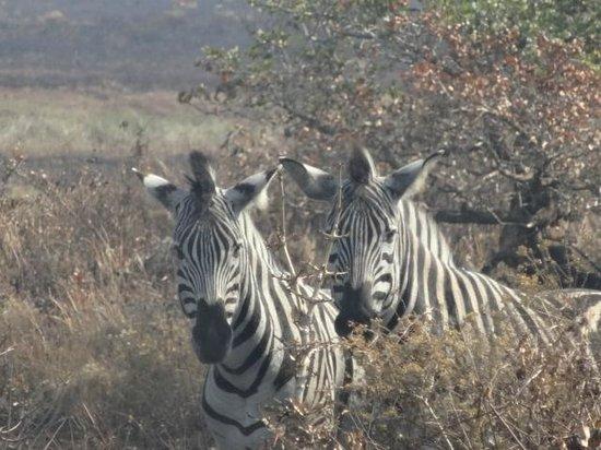 Igwalagwala Guest House: Zebra