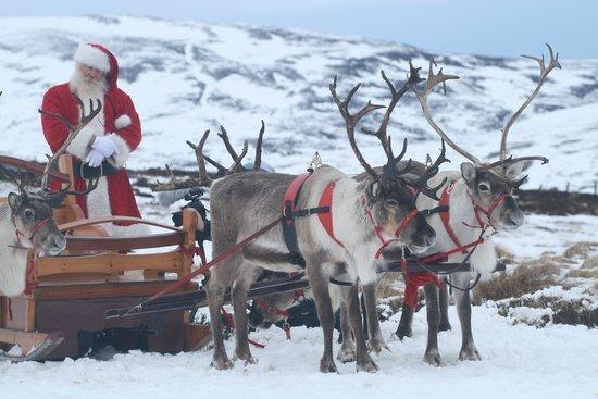 santa and his sleigh picture of cairngorm reindeer herd glenmore