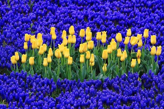 Tulip Park : 綺麗
