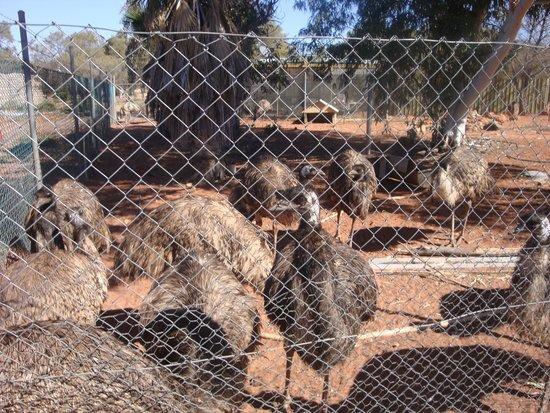 Erldunda Roadhouse Restaurant: Emus aplenty