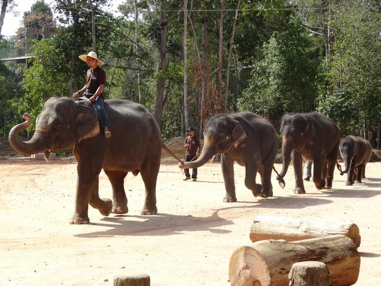 Kenyir Elephant Conservation Village: Elephants entering show