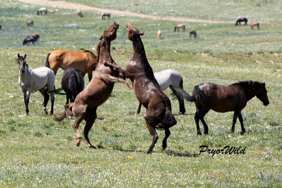 Lovell, WY: Stallion Action at the Pryor Mountain Wild Horse Range