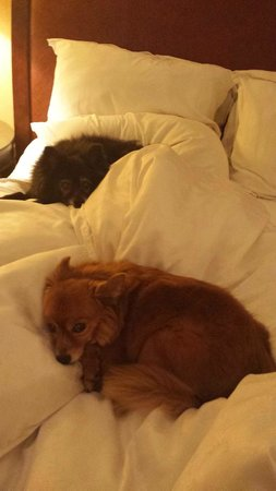 Sheraton Gunter Hotel San Antonio: Pups enjoying the SPG Life