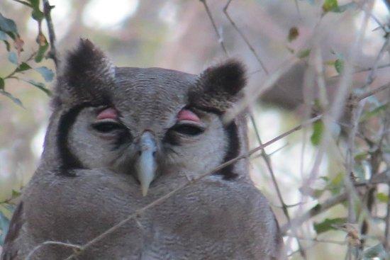 Monwana Game Lodge: Owl