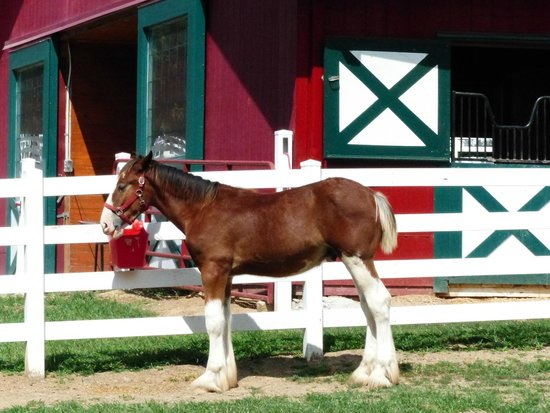 Grant's Farm : Young Clydesdale