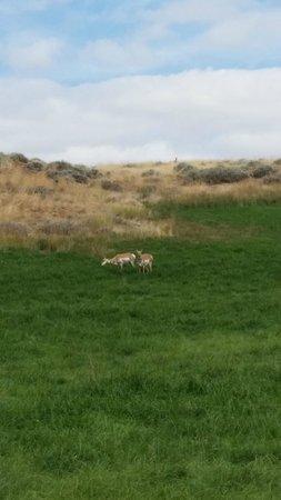 K3 Guest Ranch Bed & Breakfast: Prong horn deer