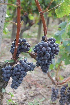 Visite gastronomique : Bordeaux grapes