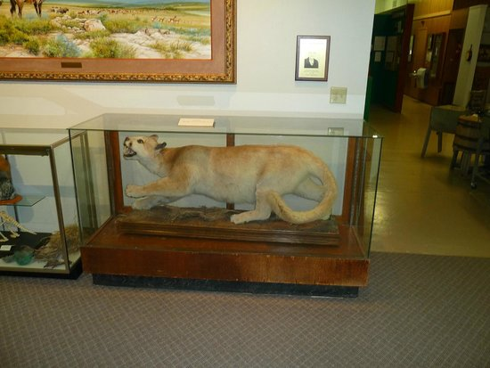 Dalhart, TX: BIG! mountain lion