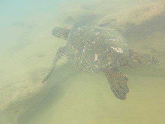 Sheraton Kauai Resort: Snorkeling off beach