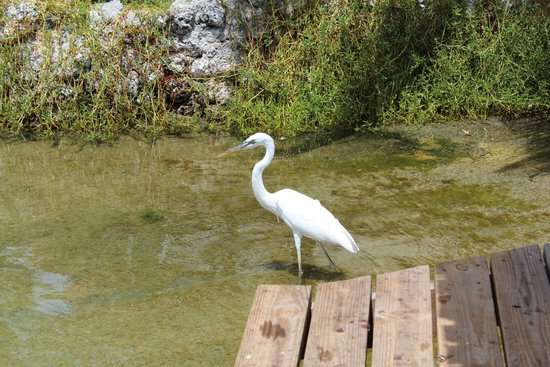 Royal Hawaiian Motel / Botel : Our friendly wading bird ambassador, a Great White Heron who had a taste for large baitfish :-)
