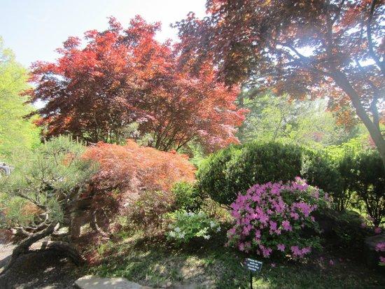 In full blossom at Missouri Botanical Gardens