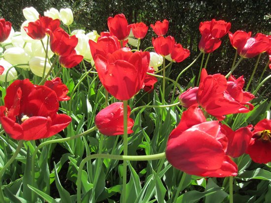 Missouri Botanical Garden: Tulips abounded in their spring magnifence