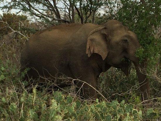 Bundala National Park : Elephant posed for us!