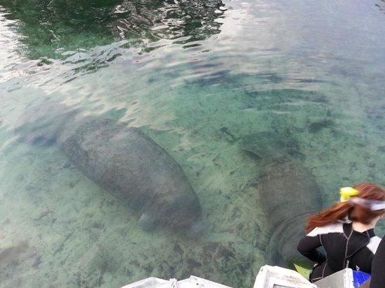 Bird's Underwater : manatees coming to say hello