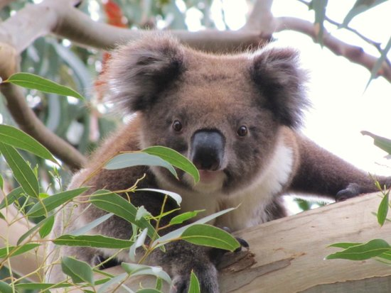 baby dingo pups picture of jirrahlinga koala wildlife sanctuary