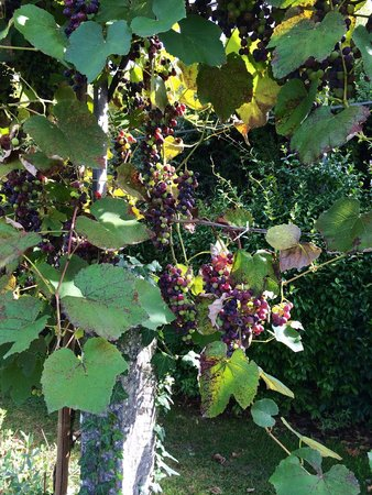 Borgo il Melone: Grapes while exploring grounds
