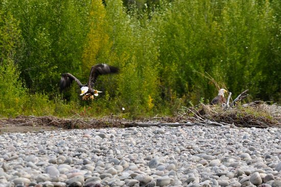 Jackson Hole Wildlife Safaris - Day Tours: Snake River - Bald Eagle with his catch