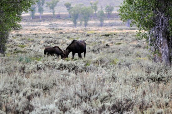 Jackson Hole Wildlife Safaris - Day Tours: My only shots of any Moose :)