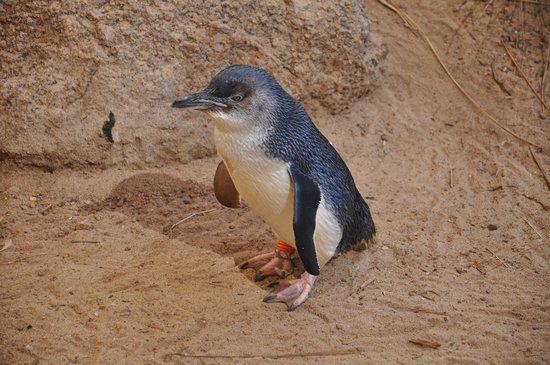 Penguin Centre: Fairy penguin - 1