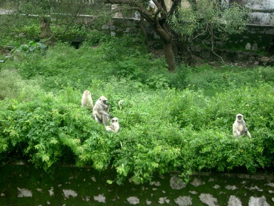 Kashiva Lake Residency: Monkeys in garden