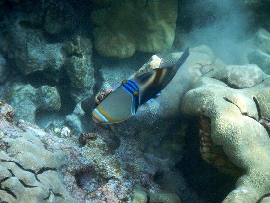 Honaunau Bay : Humuhumunukunukuapua'a (Hawaiian Trigger Fish)