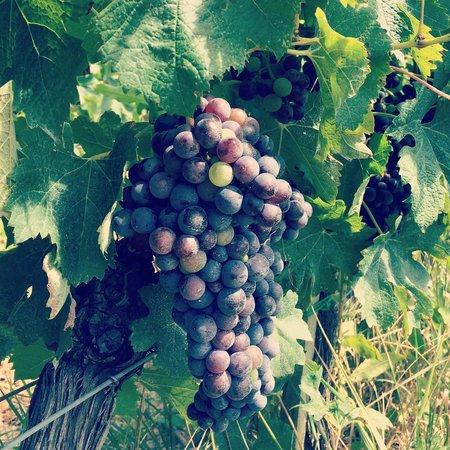 Villa Loggio Winery and Boutique Hotel: Виноград