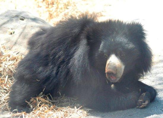 Bannerghatta National Park : Black bear