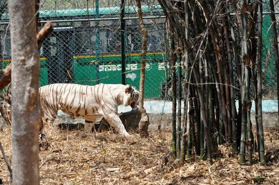 Bannerghatta National Park : Bus in Background is the one in which the Safari is done.