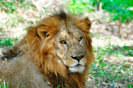 Bannerghatta National Park : Lion Sees Us