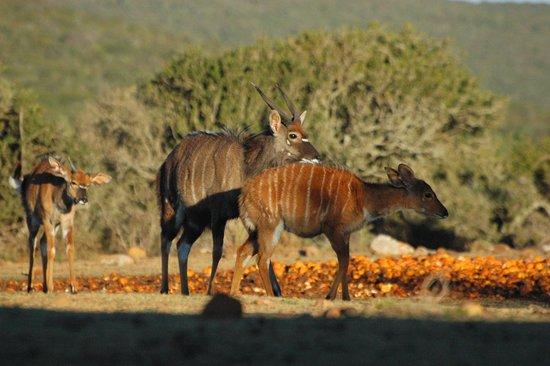 Valley Bushveld Country Lodge & Safari Tours: Nyala's