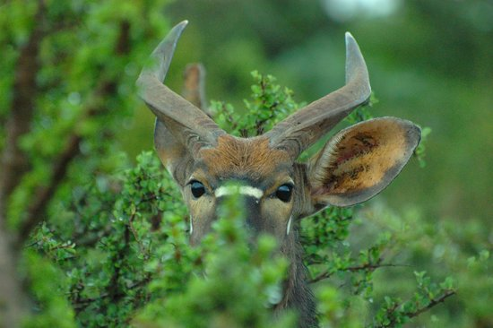 Valley Bushveld Country Lodge & Safari Tours: A young Nyala in hiding