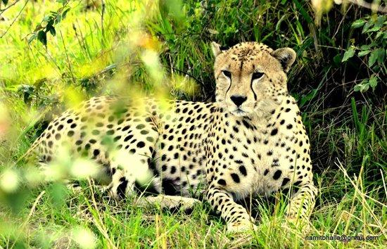 Masai Mara National Reserve, Kenya: Leopard