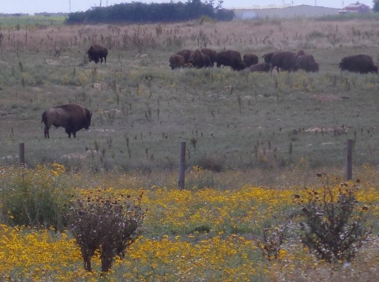 Rocky Mountain Arsenal National Wildlife Refuge: Part of the Bison herd off hwy 2