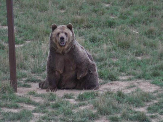 Keenesburg, CO: Tiny the grizzly