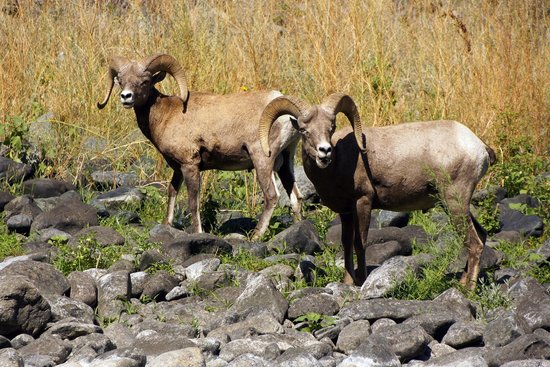 Killgore Adventures Hells Canyon Jet Boat Trips & Fishing Trips: Bighorn!