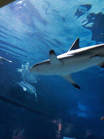 Adventure Aquarium: Walking through the shark tank