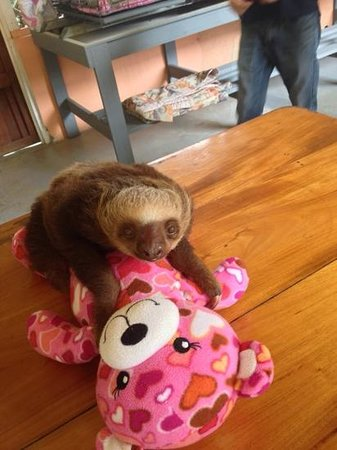 Sloth Sanctuary of Costa Rica : Baby sloth with her baby