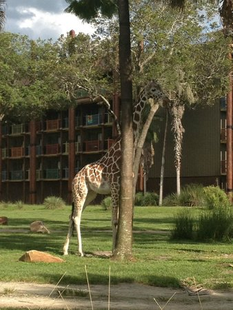Disney's Animal Kingdom Lodge: the animals are amazing