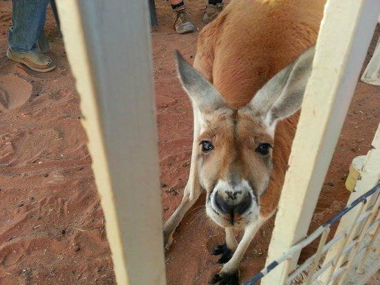 Josephine's Gallery & Kangaroo Orphanage : Kangaroo