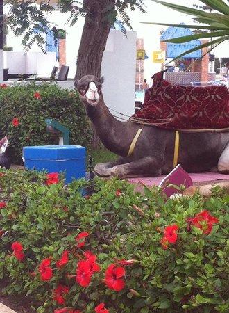 """Caribbean Village Agador: Resident Camel """"Chocolate"""""""