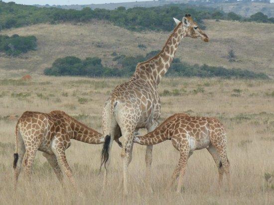 Shamwari Game Reserve Lodges: lucky twins