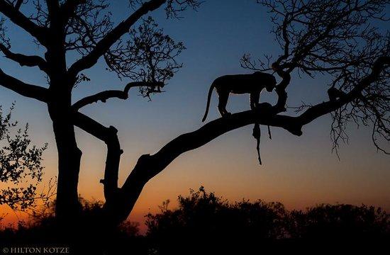 Londolozi Private Game Reserve : Leopard in tree