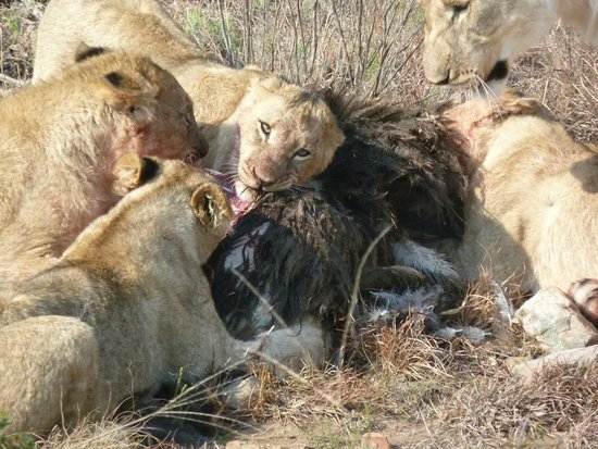 Shamwari Game Reserve Lodges: lions hunt