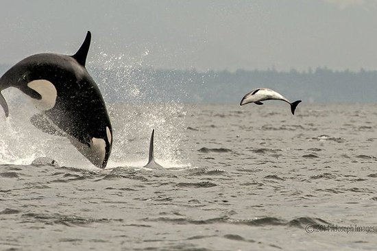 Steveston Seabreeze Adventures & Whale Watching: Orca breaching and Porpoise jumps to avoid capture